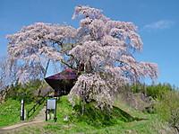 Fudozakura