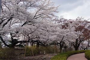 Cherry_trees