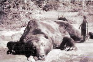 North_bear